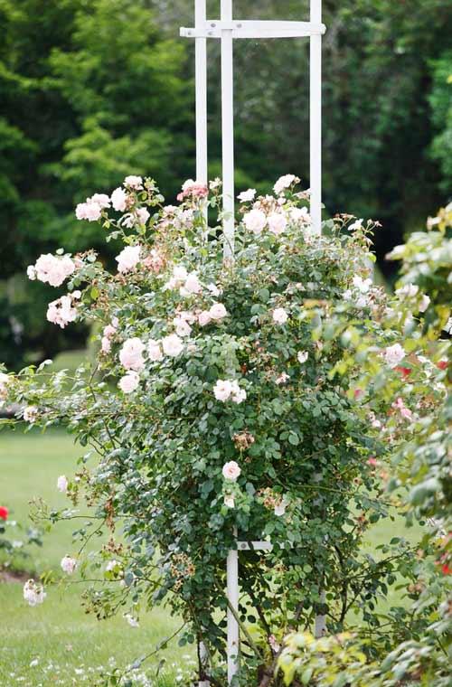 Rankhilfe für Rosen depositphotos.com