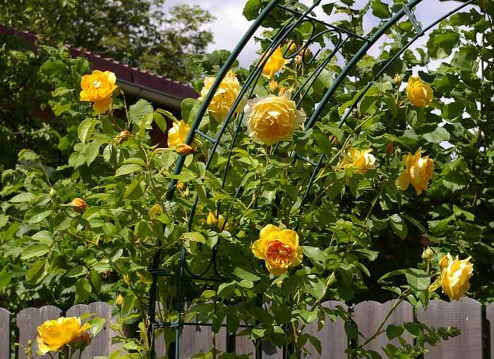 Gelbe Rosen am Rosenbogen als Rankhilfe