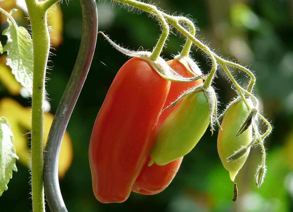Tomatenstäbe als Rankhilfe für Tomaten