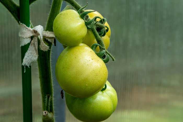 Einfache Tomatenstange im Einsatz