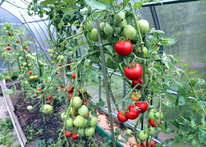 Pflanzstäbe für Tomaten depositphotos.com